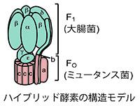 ハイブリッド酵素の構造モデル