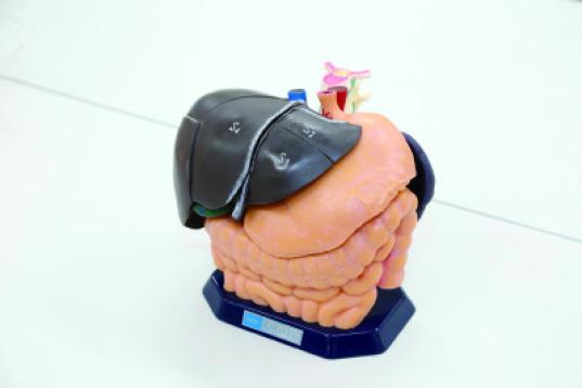 上腹部内臓モデル